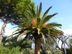 Ancient palm tree in the garden. Palma antica in giardino. Alte Palme im Garten